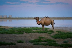 Camel resting across water from a newly built apartment complex in Aral