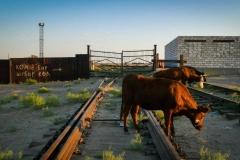 Cows graze by former shipyard in Aral