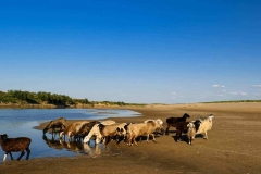 Sheep and goats drink water from the Syr-Darya river in Birlik
