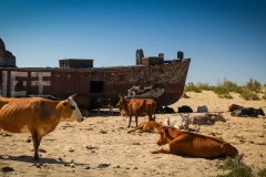 Cows resting in sand near fishing boat graveyard